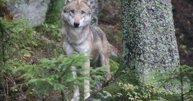 Mezi Krkonošemi a Orlickými horami žije až 20 vlků, napětí roste